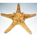 """Giant Starfish 6"""""""