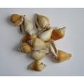 Design Shells Canarium 12oz,.