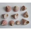 Design Shells Strawberry Trocha (10)