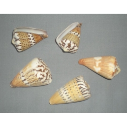Design Conus Capitaneus Shells (12)