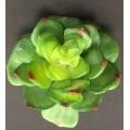 """Succulent Green D:4"""" L:3.5"""""""